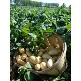 Pomme de terre nouvelle kg