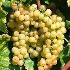 raisin muscat blanc